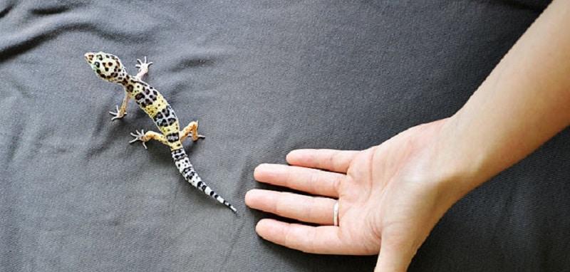 tenir un gecko léopard