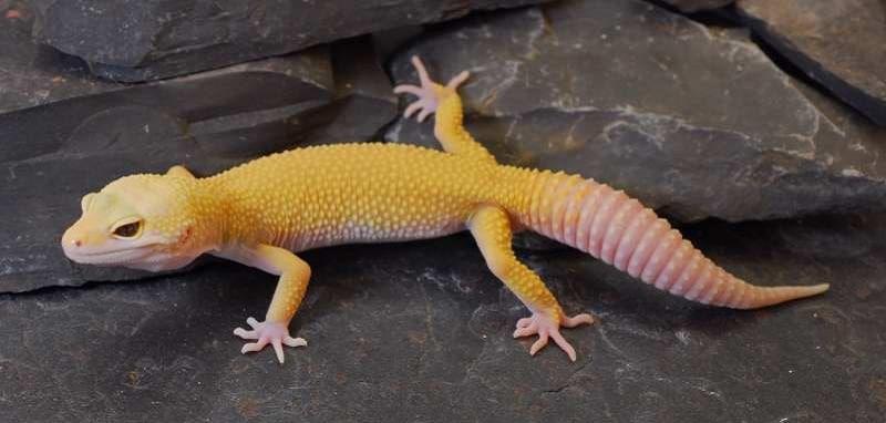 gecko léoprad tremper albinos
