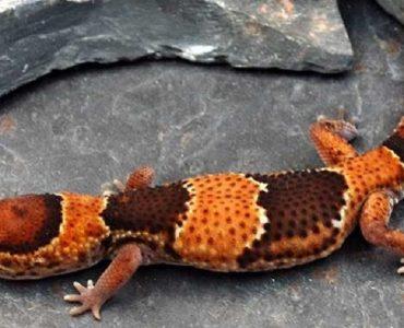 gecko à queue grasse