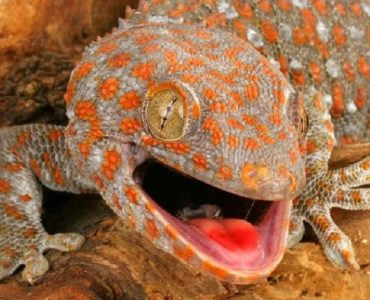morsure de gecko