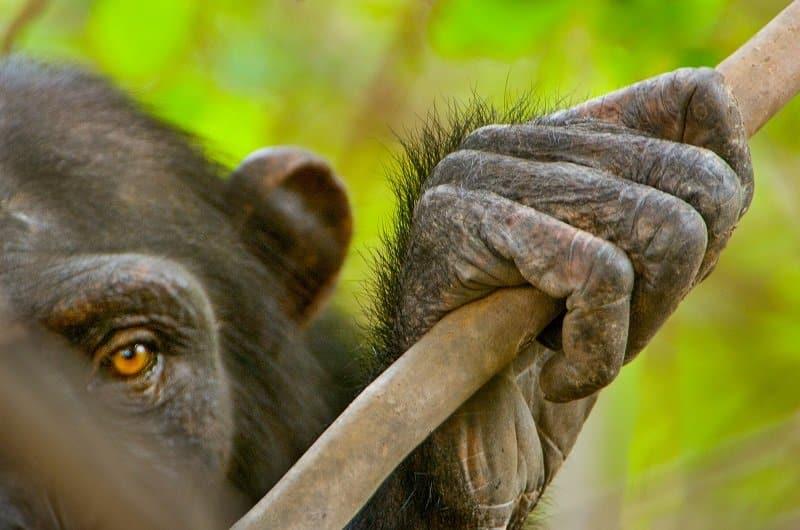 Lanting chimpanzes Senegal