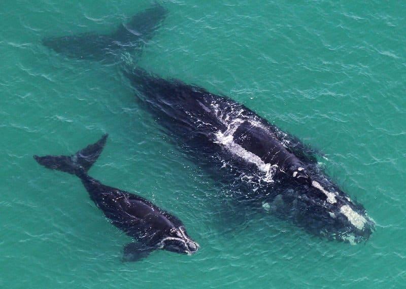 baleines franches atlantique nord