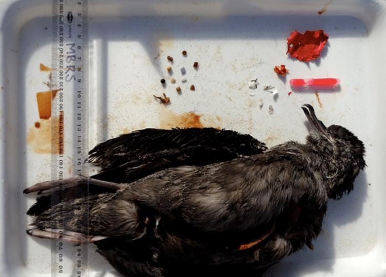 oiseau mort plastique
