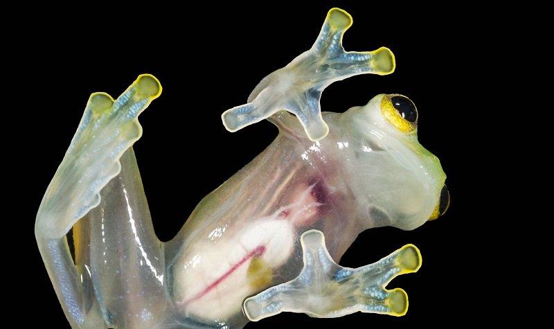 grenouille de verre