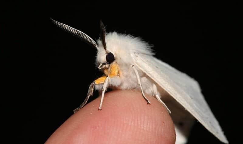 papillon caniche du Vénézuéla