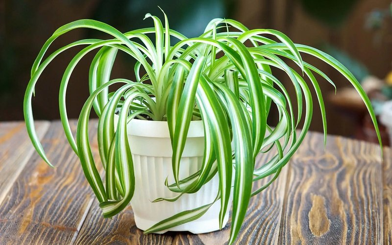 plantes purificatrices air