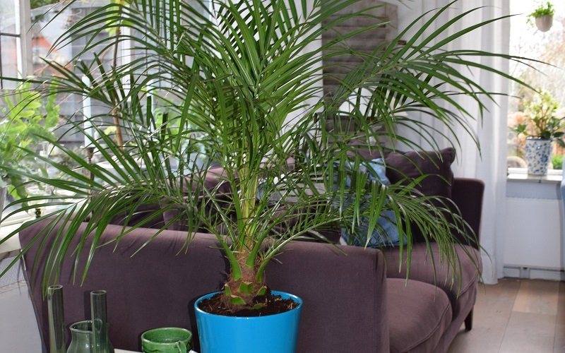 palmier dattier nain