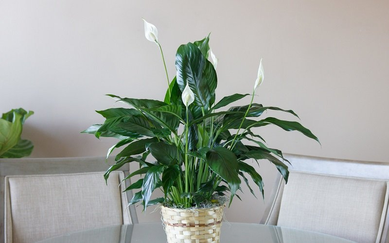 meilleures plantes pour purifier l'air
