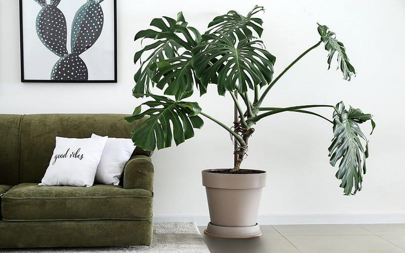 plante purificatrice