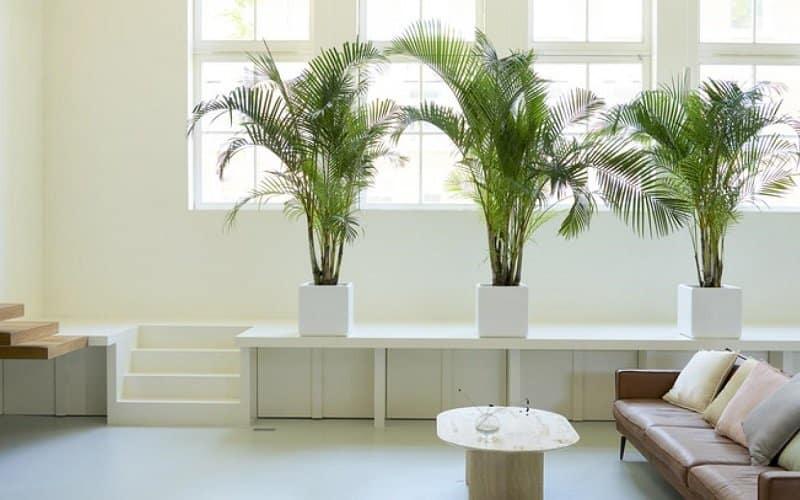 palmiers d'arec en pot