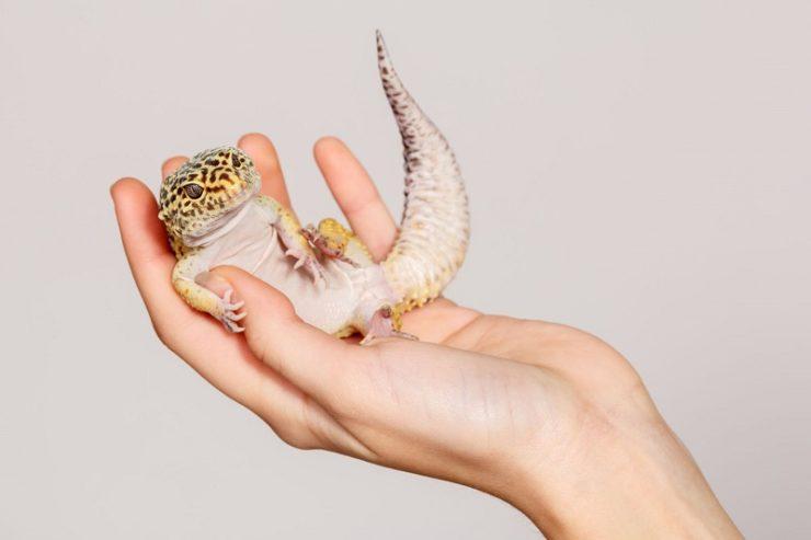 gecko leopard dans main